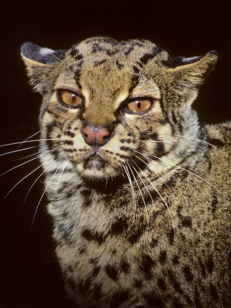 http://cdn.c.photoshelter.com/img-get2/I0000y31YhmZsVUk/fit=1000x750/Marbled-cat-MMBL003.jpg